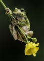 Chuck Bentivegna - Tree Frog on Buttercup